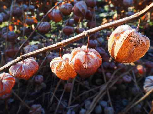 Frosted Physalis lannterns